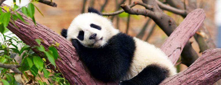Pandareservaten (Chengdu)